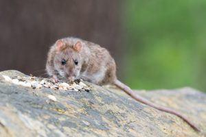Ratte-Wildnis