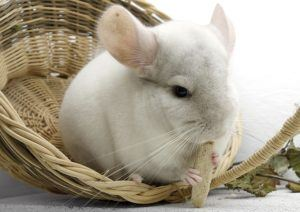 chinchilla-im-korb