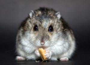 hamster-von-vorne