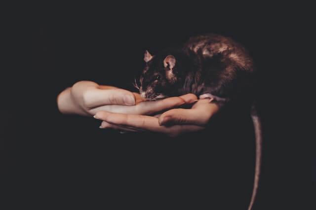 Ratte auf der Hand, Zutraulich