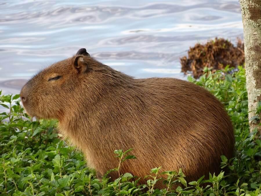 capybara-groesstes-nagetier-der-welt
